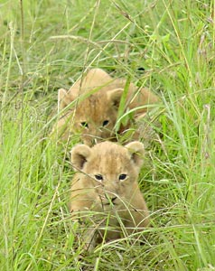 The Lion Cubs